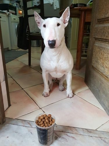 indian bull terrier dog