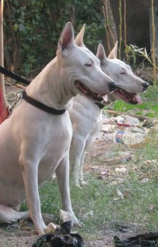 indian bull terrier dogs