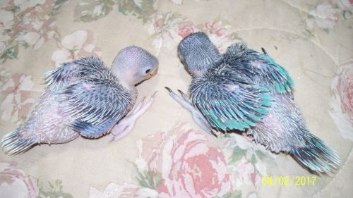 Indian Ringneck Birds for sale in The Dalles, OR 97058, USA. price 250USD