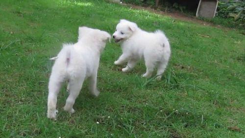 indian spitz puppies