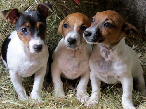 irish jack russell dogs