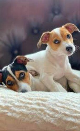 irish jack russell puppies