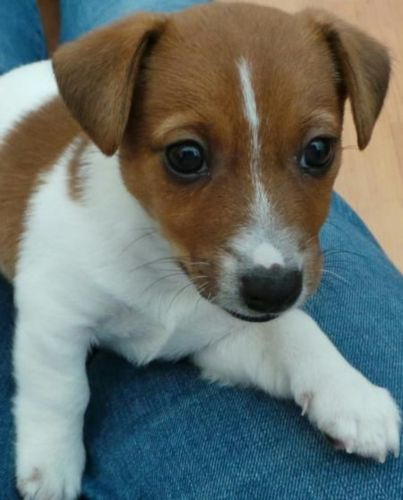 irish jack russell puppy