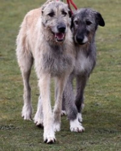 irish mastiff hound dogs