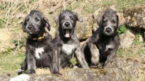 irish mastiff hound puppies