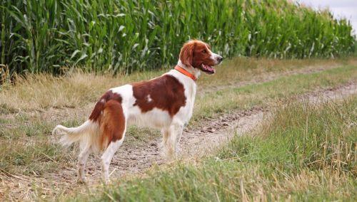 irish red and white setter dog