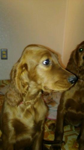 Irish Setter Puppies For Sale   Pottsboro, TX #191930 ... Irish Setter Utah