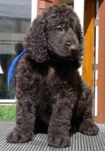 irish water spaniel puppy