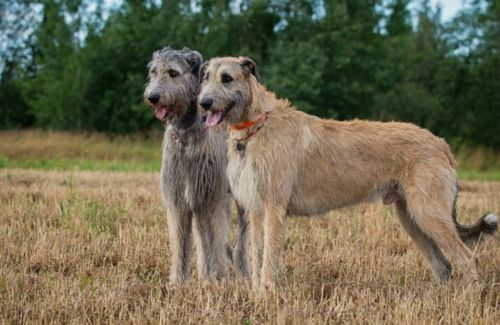 irish wolfhound dogs