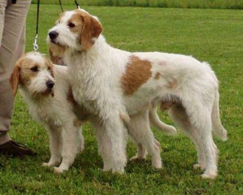 istarski ostrodlaki gonic dogs