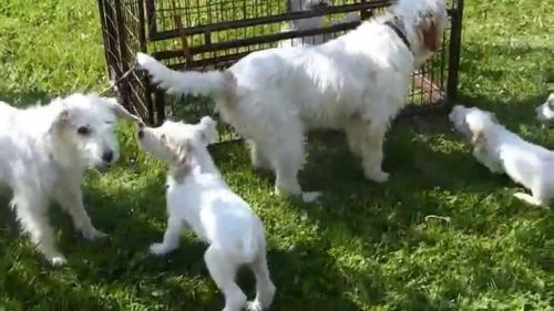 istarski ostrodlaki gonic puppies
