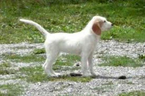 istarski ostrodlaki gonic puppy