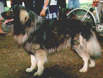 istrian sheepdog dog