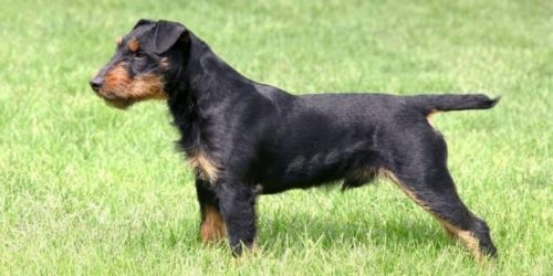 jagdterrier dog