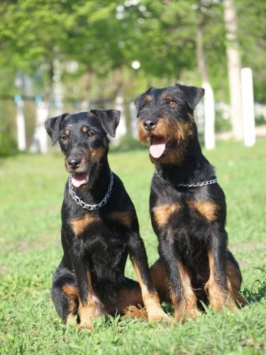 jagdterrier dogs