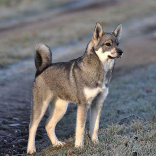 jamthund dog
