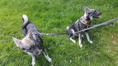 jamthund dogs