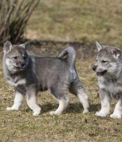 jamthund puppies