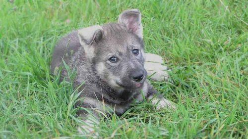 jamthund puppy