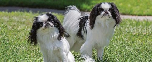 japanese chin dogs