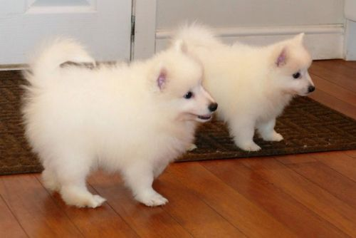Japanese Spitz Puppies for sale in Maryland Ave, Rockville, MD 20850, USA. price 550USD