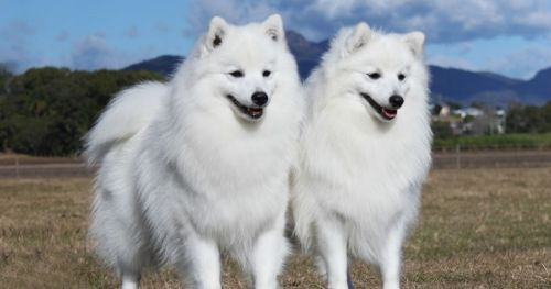japanese spitz dogs