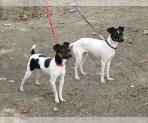 japanese terrier dogs