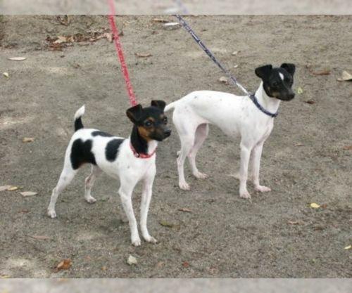 japanese terrier dogs