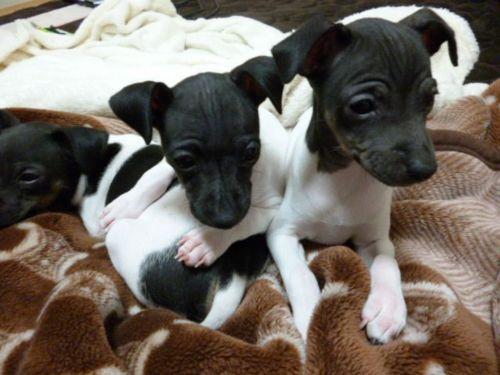 japanese terrier puppies
