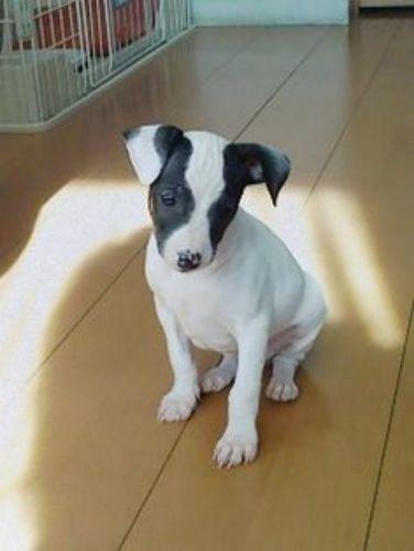 japanese terrier puppy