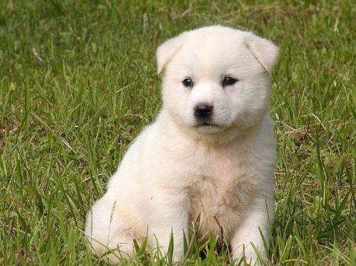 jindo puppy