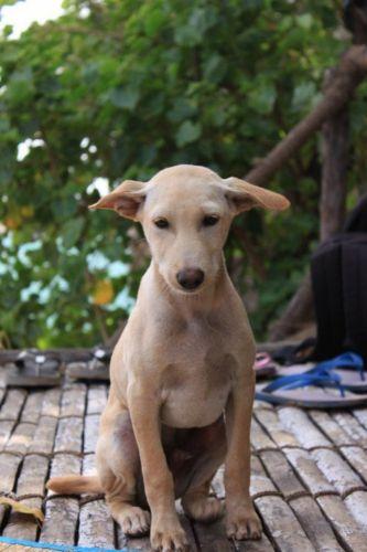 jonangi puppy