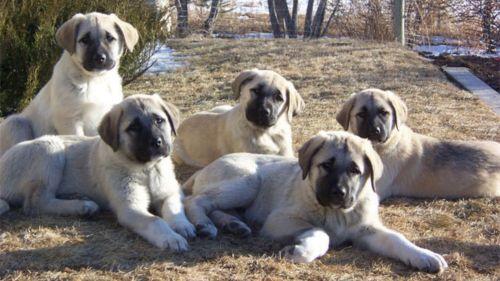 kangal dog puppies