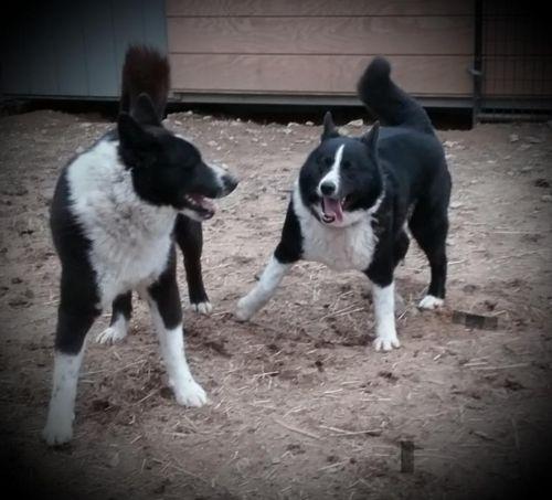 karelian bear dog dogs