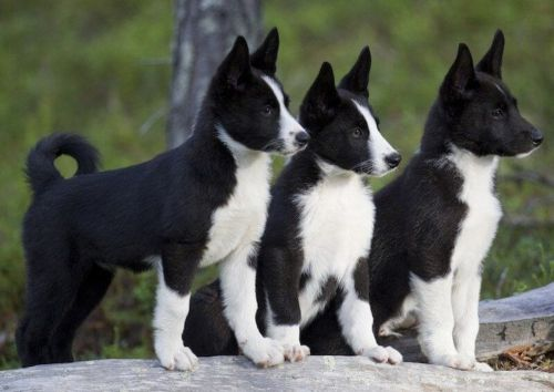 karelian bear dog puppies