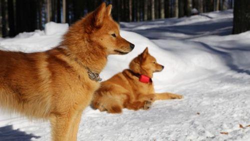 karelo finnish laika dogs