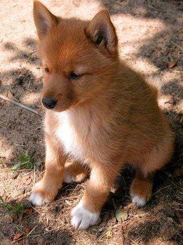 karelo finnish laika puppy
