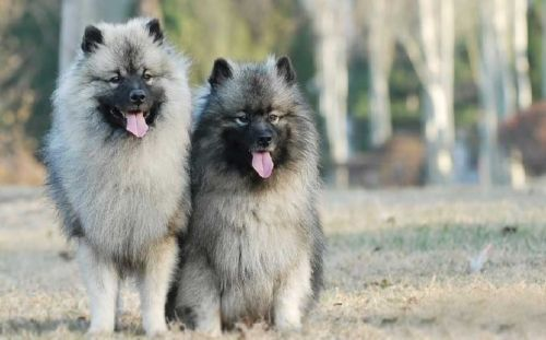 keeshond dogs