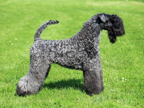 kerry blue terrier dog