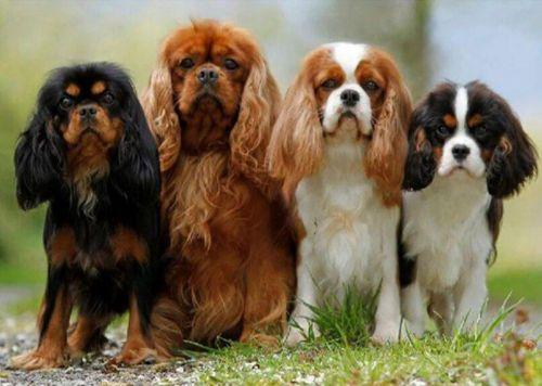 king charles spaniel dogs