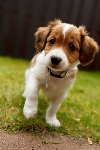 kooikerhondje puppy