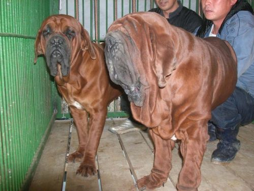 korean mastiff dogs