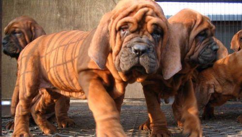 korean mastiff puppies