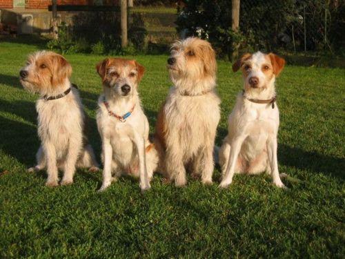 kromfohrlander dogs