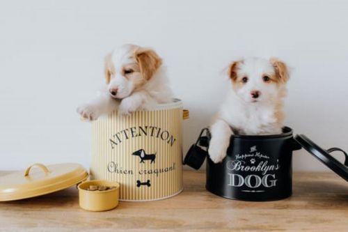 kromfohrlander puppies