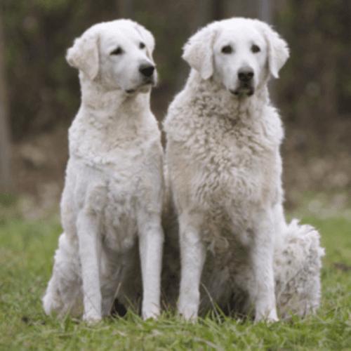 kuvasz dogs