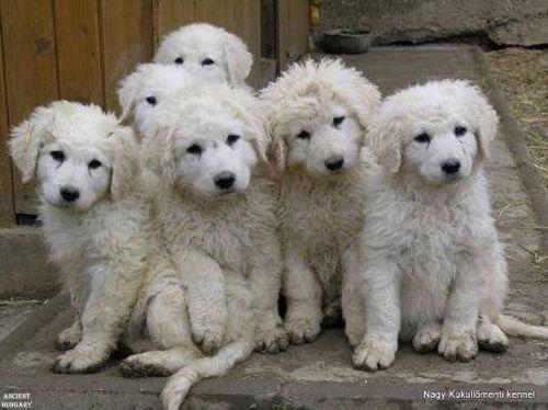 kuvasz puppies