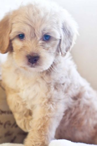 Labradoodle Puppies for sale in Houston, TX, USA. price 1200USD