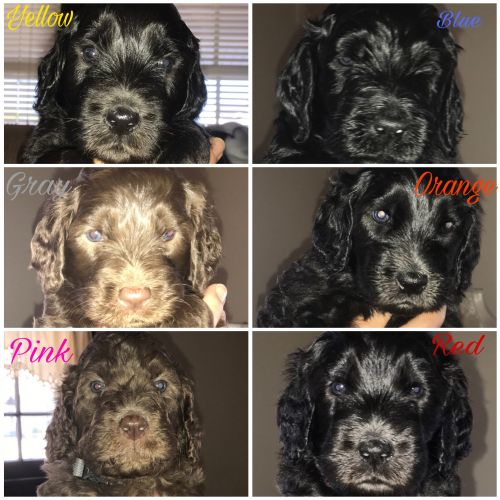 Labradoodle Puppies for sale in Sandusky, OH 44870, USA. price 750USD