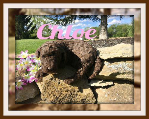 Labradoodle Puppies for sale in Canton, OH, USA. price 950USD